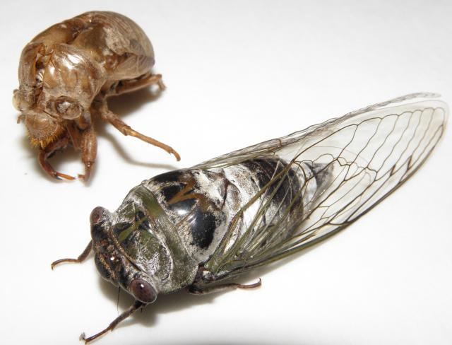 Megatibicen auletes, the largest cicada in North America