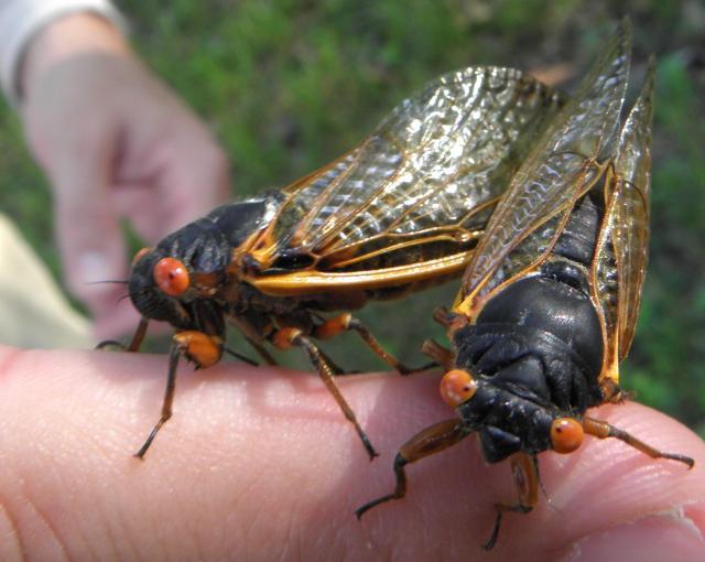 A pair of Magicicada septendecim; Brood II