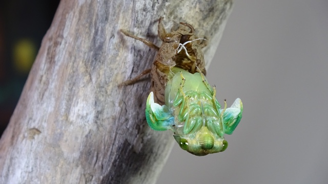 Molting Morning Cicada