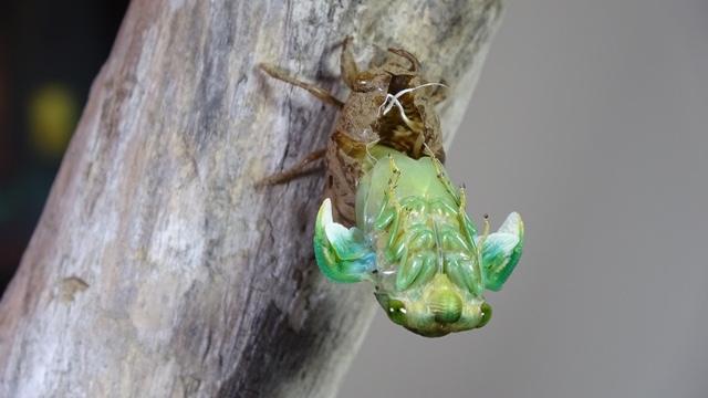 Molting Morning Cicada