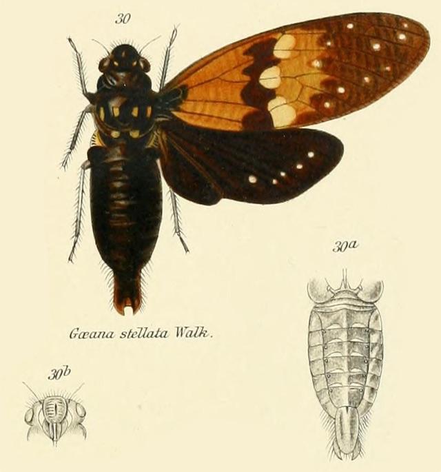 Ambragaeana stellata stellata (Walker, 1858)