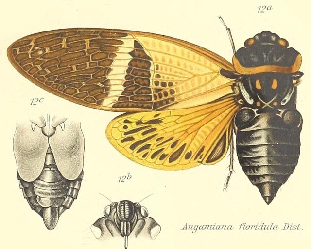 Angamiana floridula Distant, 1904