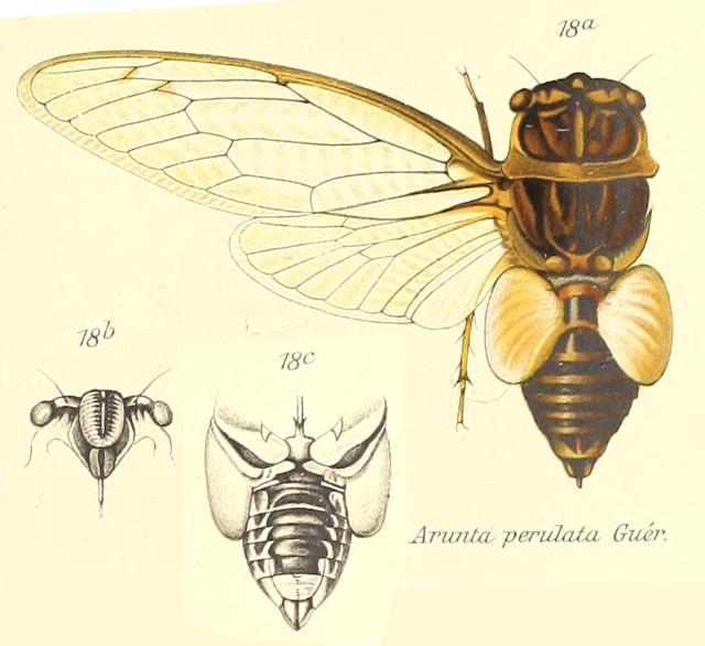 Arunta perulata (Guérin-Méneville, 1831)