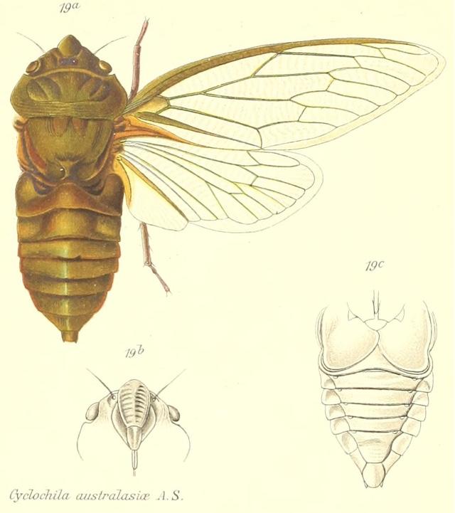 C. australasiae (Donovan, 1805)