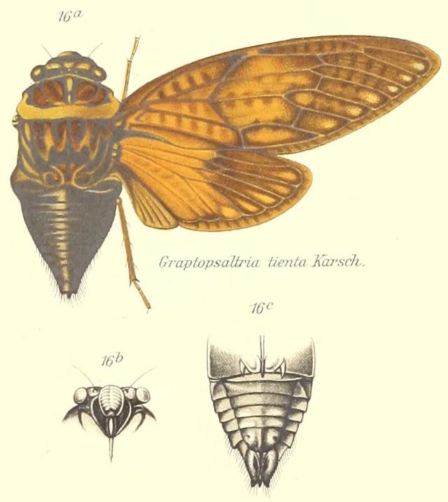 Graptopsaltria bimaculata Kato, 1925