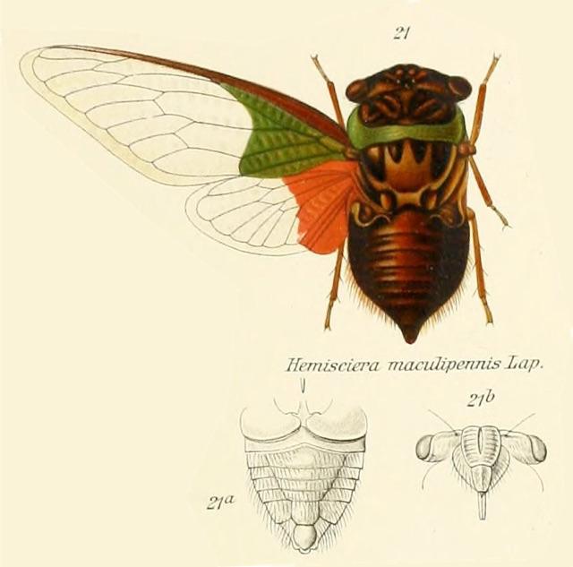 Hemisciera maculipennis (de Laporte, 1832)