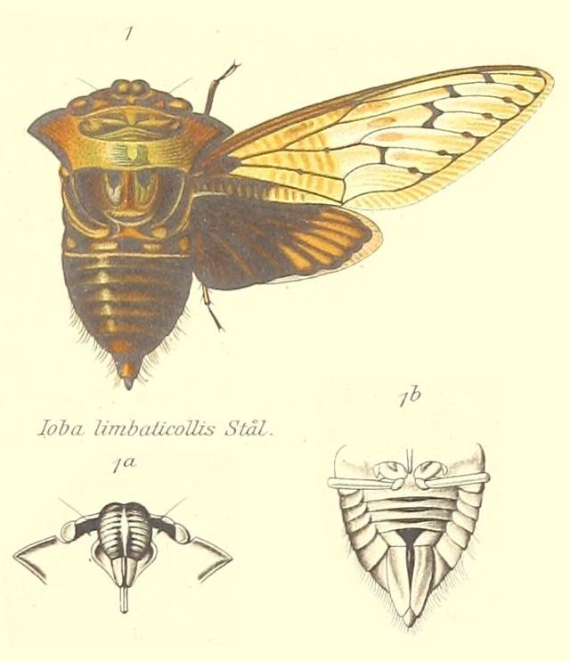 Ioba limbaticollis (Stål, 1863)