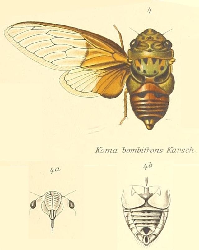 Koma bombifrons (Karsch, 1890)
