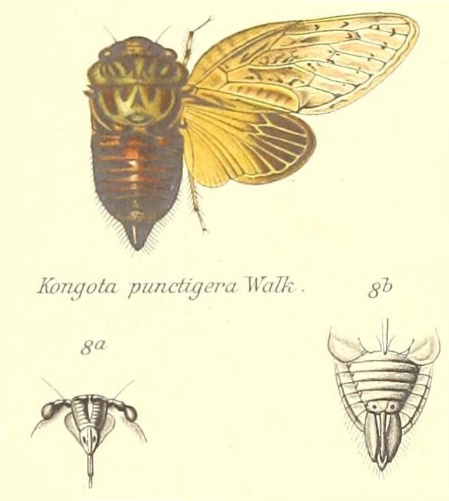 Kongota punctigera (Walker, 1850)
