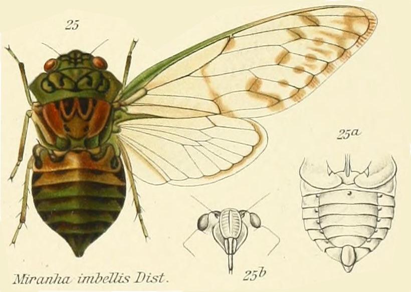 Miranha imbellis (Walker, 1858)