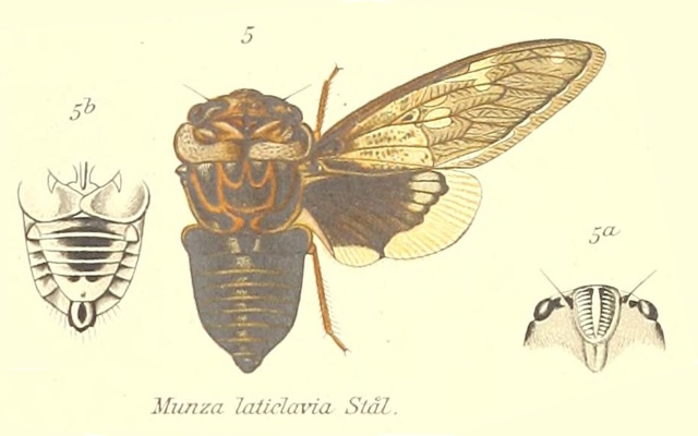 Munza laticlavia