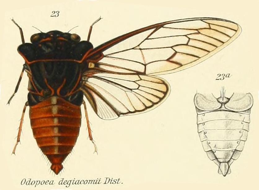 Odopoea degiacomii Distant, 1912