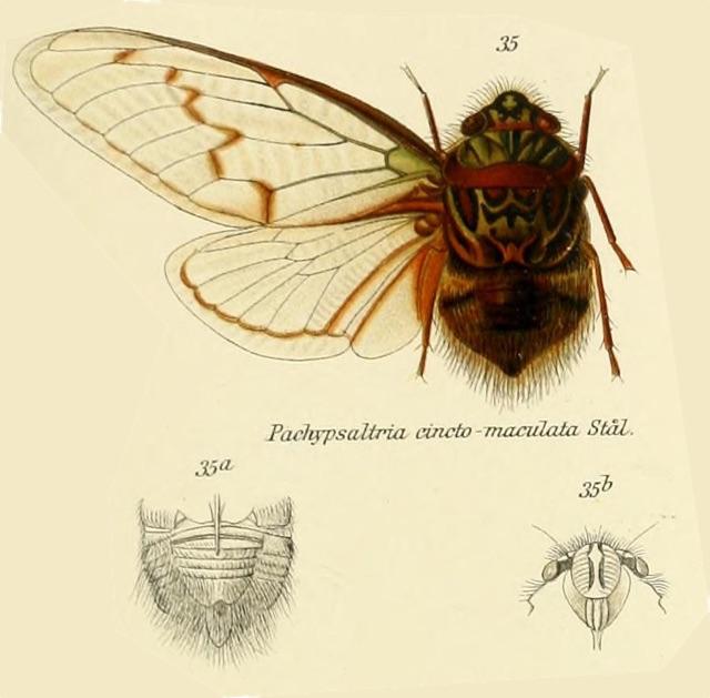 Pachypsaltria cinctomaculata (Stål, 1854)