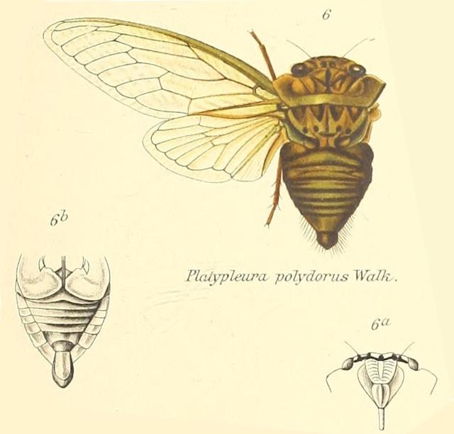 Platypleura polydorus (Walker, 1850)