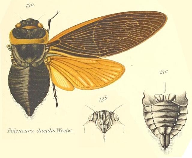 Polyneura ducalis Westwood, 1840