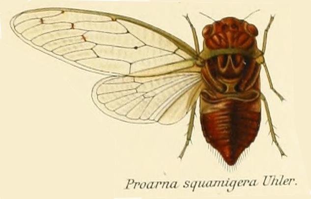 Proarna squamigera Uhler, 1895