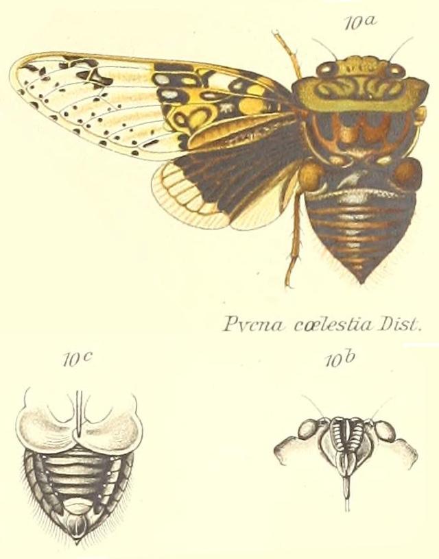 Pycna coelestia Distant, 1904
