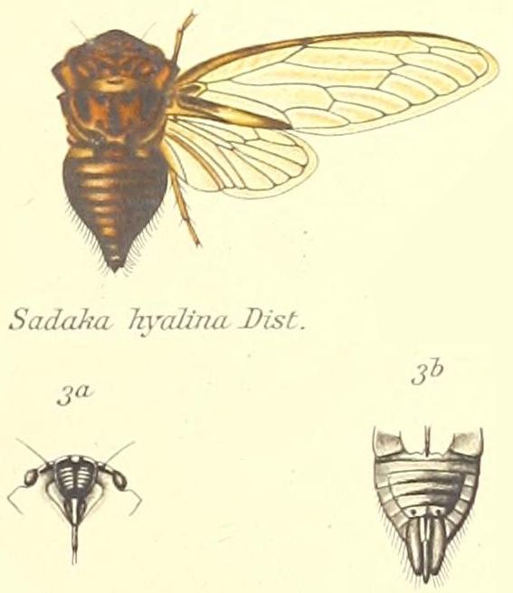 Afzeliada hyalina (Distant, 1905)