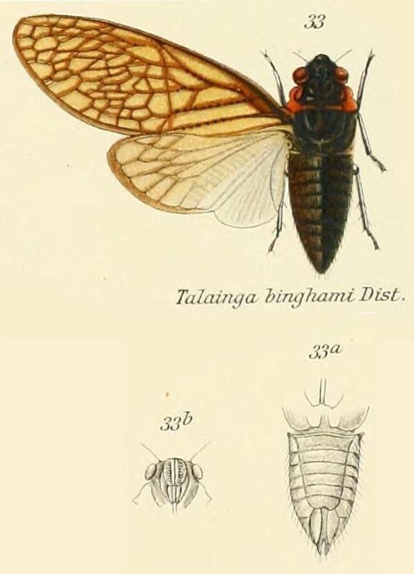 Talainga binghami Distant, 1890