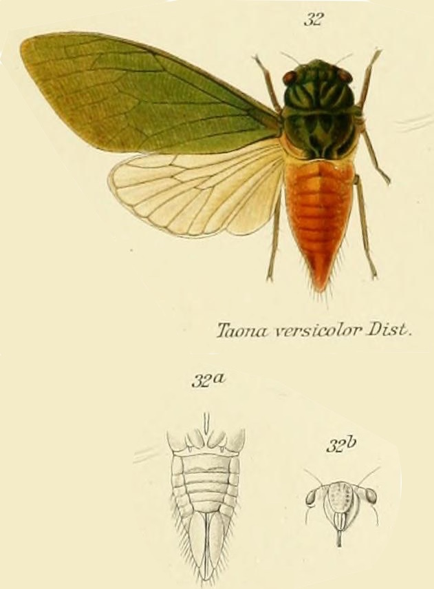 Taona versicolor Distant, 1909
