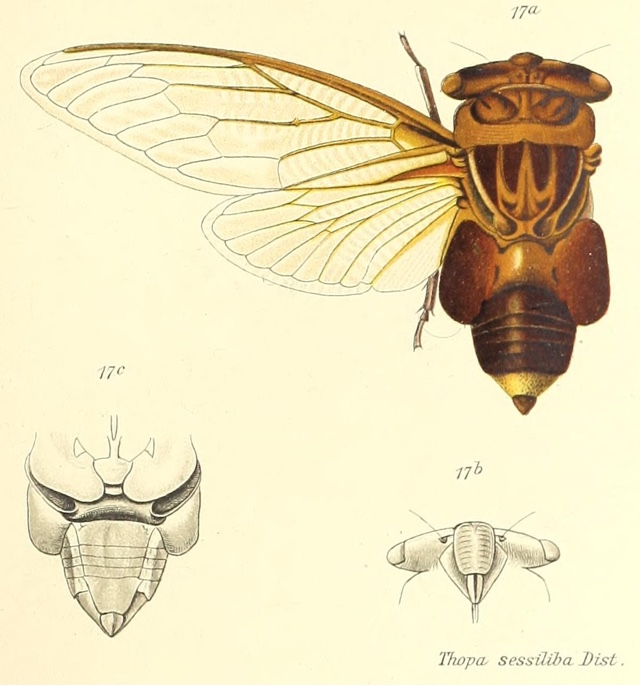 Thopha sessiliba Distant, 1892