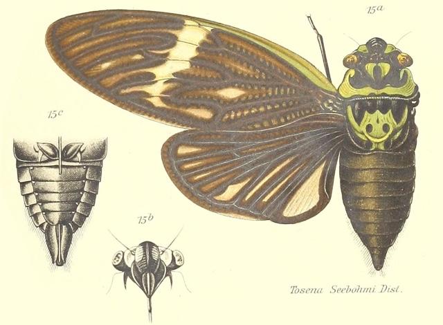 Formotosena seebohmi (Distant, 1904)