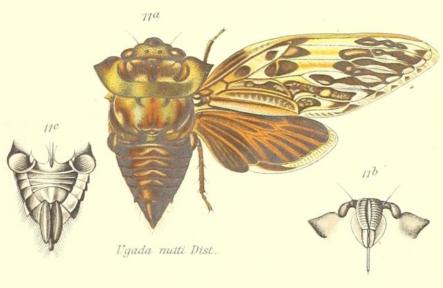 Ugada nutti Distant, 1904