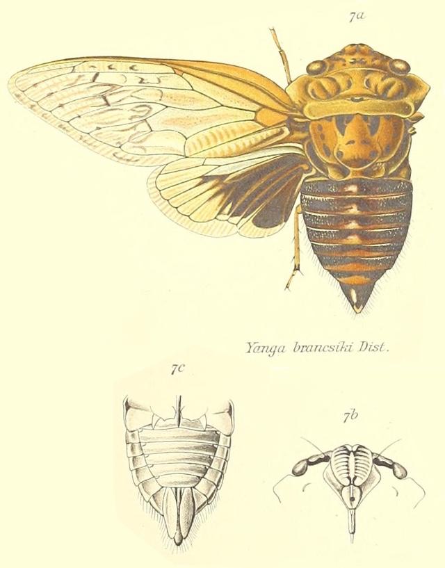 Yanga brancsiki (Distant, 1893)