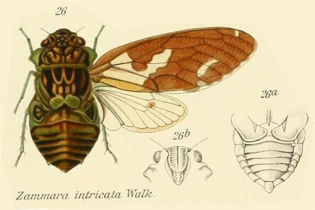 Zammara intricata Walker, 1850