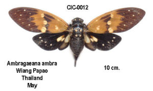 ambragaeana ambra photo by Michel Chantraine