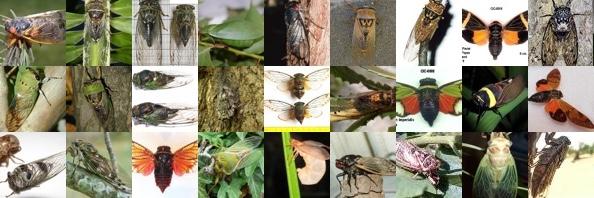 A variety of cicadas