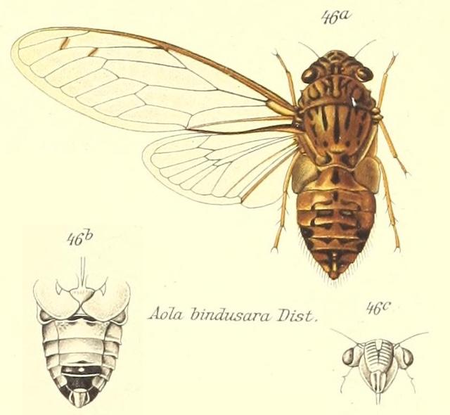 Haphsa bindusara (Distant, 1881)