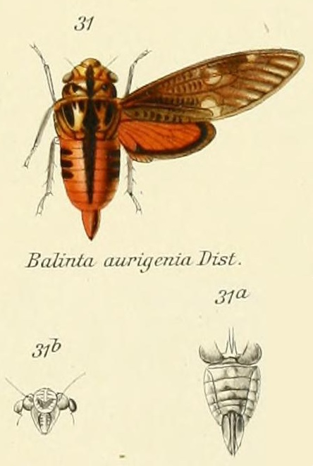 Balinta auriginea Distant, 1905