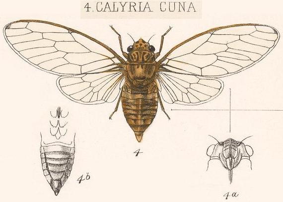 Calyria cuna (Walker, 1850)