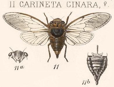 Carineta cinara Distant, 1883