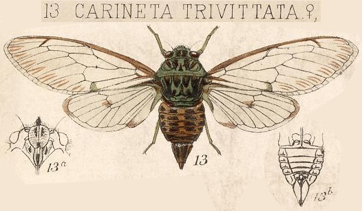 Carineta trivittata Walker, 1858