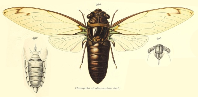 Champaka viridimaculata (Distant, 1889)