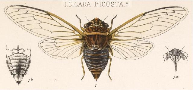 Diceroprocta bicosta (Walker, 1850)