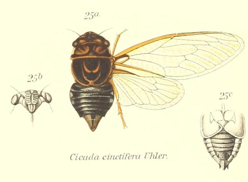Diceroprocta cinctifera