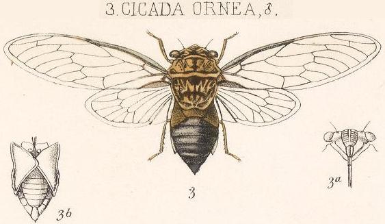 Diceroprocta ornea (Walker, 1850)