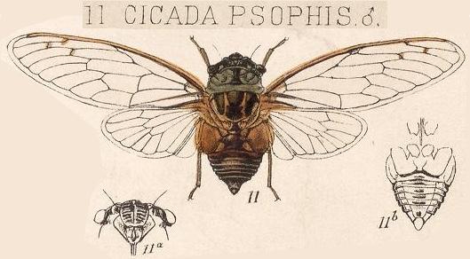 Diceroprocta psophis (Walker, 1850)