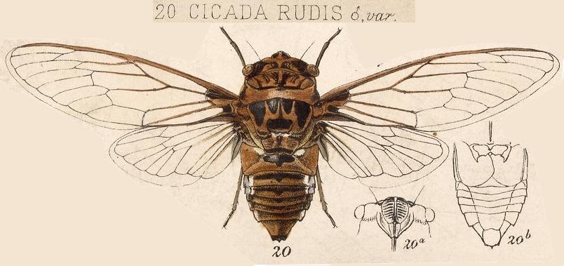 Cornuplura rudis (Walker, 1858)