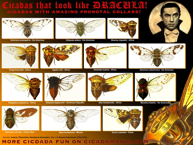 Cicadas that look like Dracula!