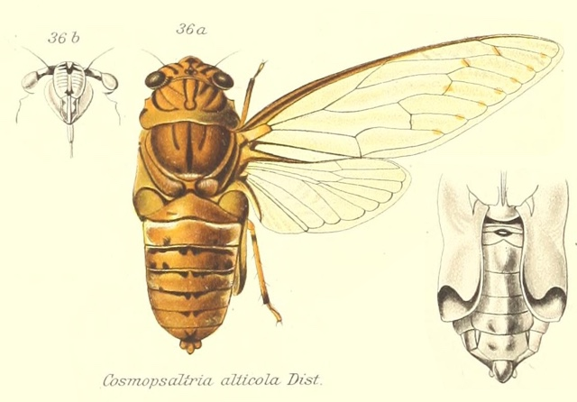 Orientopsaltria alticola (Distant, 1905)