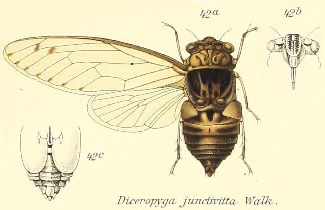 Diceropyga junctivitta (Walker, 1868)
