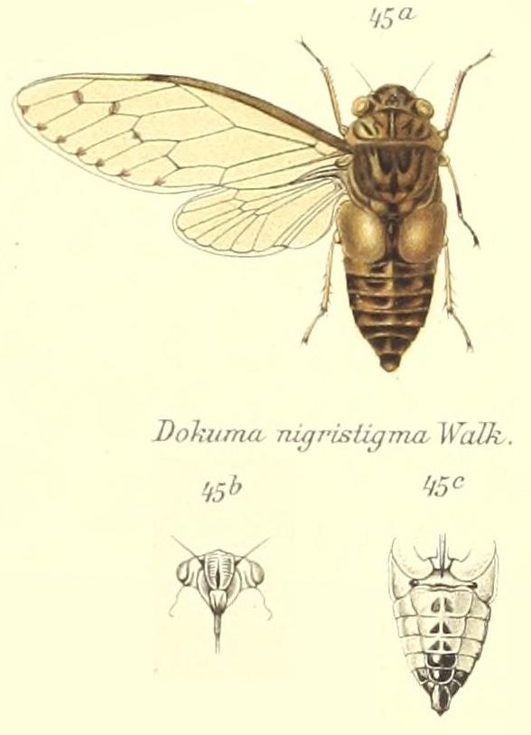 Oncotympana nigristigma (Walker, 1850)
