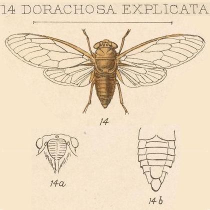 Dorachosa explicta Distant, 1892