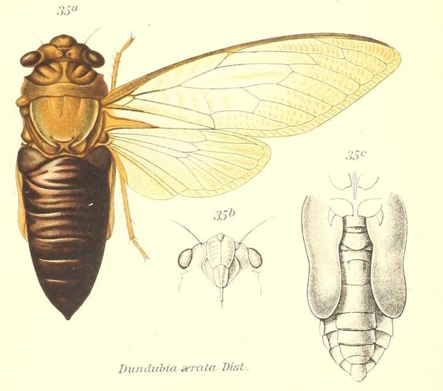 Champaka  aerata (Distant, 1888)
