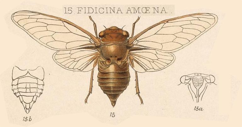 Dorisiana amoena (Distant, 1899)