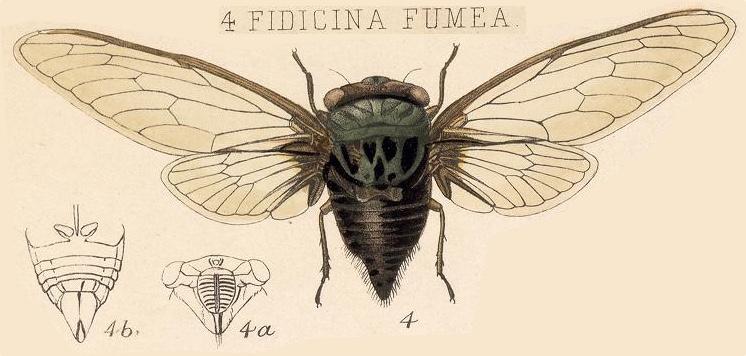 Fidicinoides fumea (Distant, 1883)